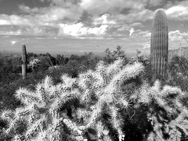 Chainfruit cholla cactus. Cholla Cactus Saguaro Clouds And Sky