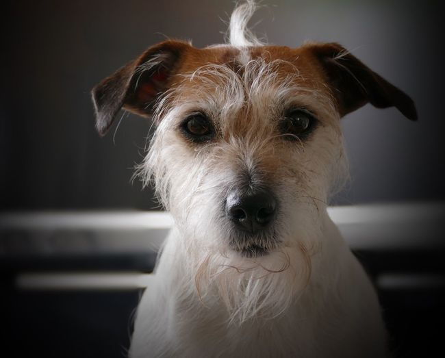 Dogphoto Dogportrait Dogs Of EyeEm Doglover Dogs Terrier Jackrussellterrier Jackrussell Dog Pets Domestic Animals One Animal Animal Themes Mammal Looking At Camera Animal Head  Close-up