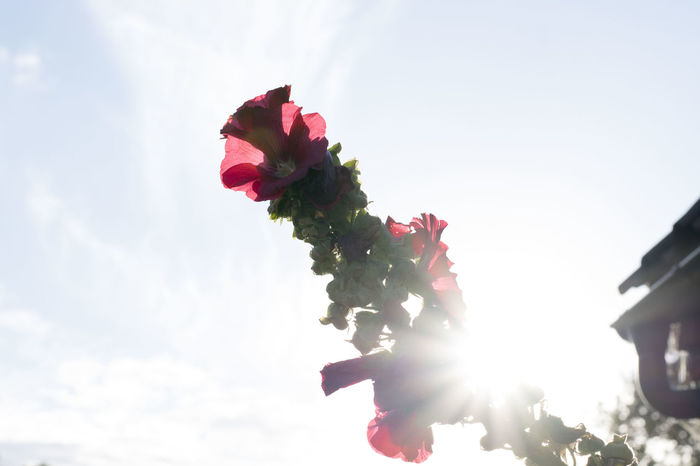 Beauty In Nature Blooming Close-up Day Flower Flower Head Fragility Freshness Growth Low Angle View Nature No People Outdoors Petal Red Rose - Flower Sky Sun