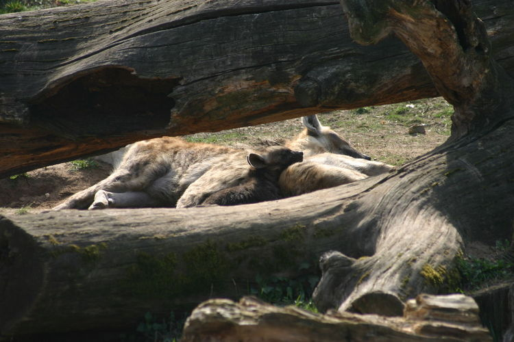View of hyena resting on tree trunk