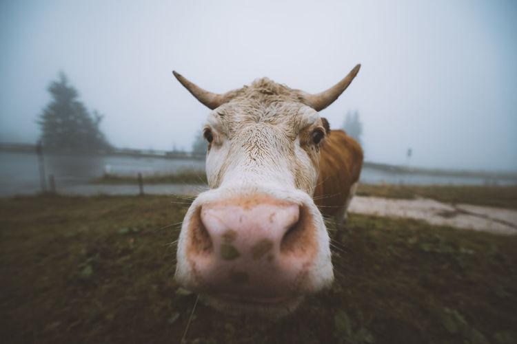 Portrait of cow at farm against sky