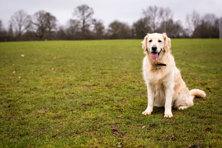 Portrait of dog sticking out tongue while sitting on grassy field