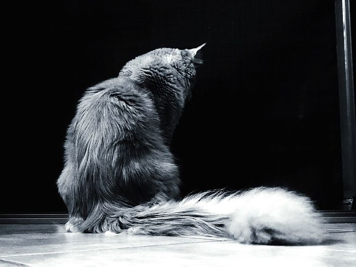 The king Gatto Cats Mainecoon Animal Themes Animal Mammal One Animal Animal Wildlife Animals In The Wild No People Nature