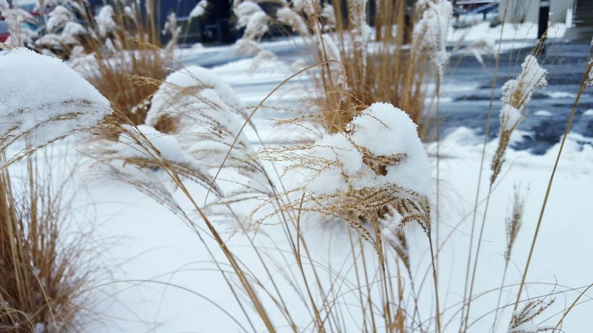 Snow Snow ❄ Snowfall Winter's Grace Winter's Grasp Winter's Cold Touch Beauty In Death Cold Truth Winterscapes Snow And Plants Snow Covered