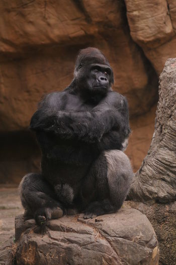 Animal Themes Animal Wildlife Animals In The Wild Day Full Length Gorilla Mammal Monkey Nature No People One Animal Outdoors Primate Rock - Object Sitting Zoo