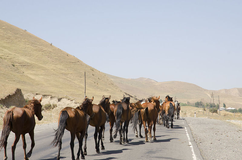 Panoramic view of horses on road against clear sky