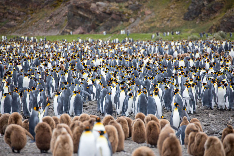 Herd Of Penguins On Field