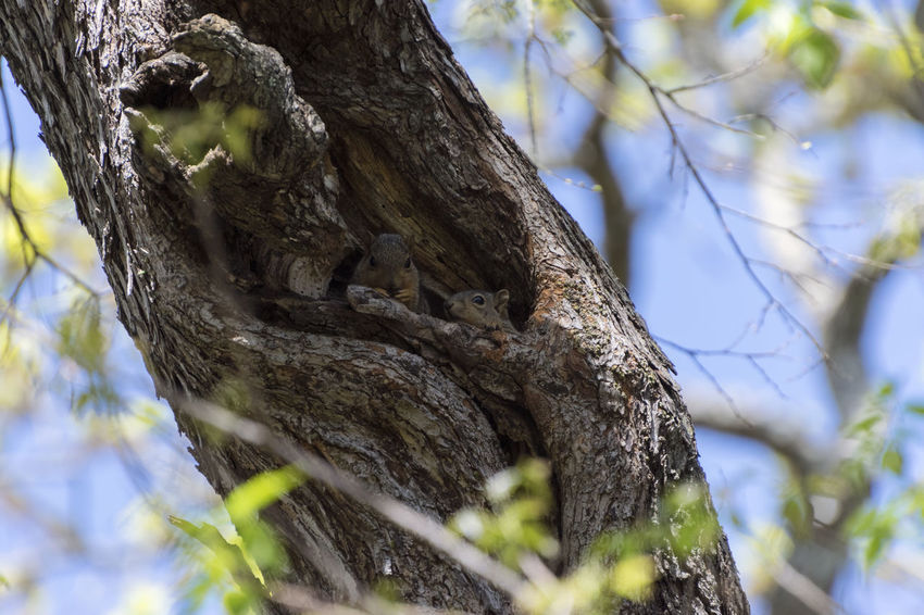 A pair of cute, furry squirrels peering out their nest high in the hollow of a tree on a beautiful, sunny, spring day in the woods. Animal Bark Beauty In Nature Branch Close-up Cute Day Focus On Foreground Forest Leaf Low Angle View Nature No People Outdoors Plant Bark Rough Selective Focus Squirrels Textured  Tree Tree Trunk Wildlife Wildlife & Nature Wildlife Photography