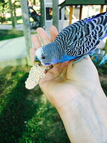 Feeding  Feeding Animals In My Hand Bird Blue Parrot Close-up Feeding The Birds Finger Hand Holding Human Body Part Human Hand Melopsittacus One Animal Outdoors Parrot Unrecognizable Person This Is My Skin The Great Outdoors - 2018 EyeEm Awards
