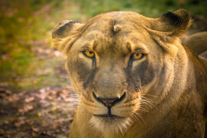 The lioness is not submissive, she merely lets you be king for as long as it pleased her. Wildlife Nature Nature_collection EyeEm Nature Lover Animals Animal_collection Wildlife & Nature Eye4photography  EyeEm Best Shots Taking Photos Lion Lioness Photography Beautiful Beautiful Animals  Cute Popular Photos Forest Beautiful Nature Travelling Hello World Enjoying Life Check This Out The Purist (no Edit, No Filter) Minimalism