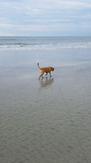 No Filter No Edit Ruby Beach Reflection Dog Walk Sand Ocean Dog Puppy Pets One Animal Hilton Head Island Hilton Head Island, SC Hilton Head SC Sea Surf Animal Themes Travel Water Beautiful Mutt Leash Wet Dog