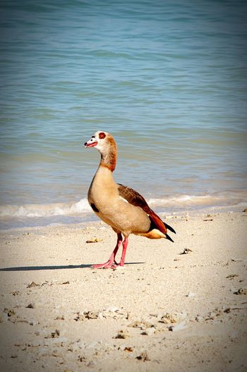 Let's Go. Together. Bird Beach Sand Water One Animal Animals In The Wild Animal Themes Nature Animal Wildlife No People Day Sea Outdoors Maxepersonalphoto Hdrphotography Travel Photography Sunset Nature