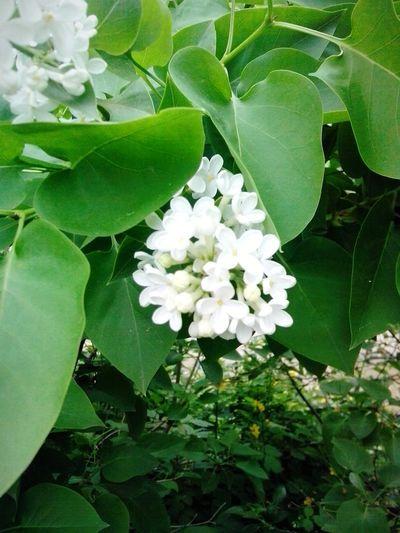 цветок  Белая сирень