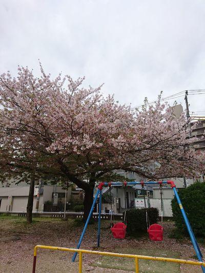 桜 サクラ ピンク Cherry Blossoms Day Tree 公園 ブランコ Swings Park