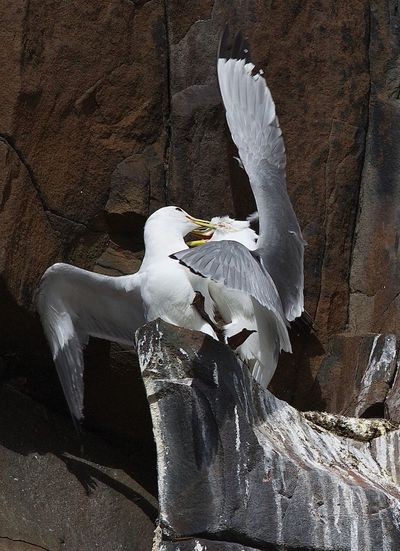 Seagull flying over a rock