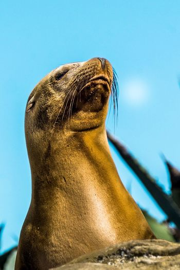 One Animal Animals In The Wild Sea Lion Animal Wildlife Mammal Seal - Animal Aquatic Mammal Animal Themes Sea Life No People Day Whisker Close-up Outdoors Low Angle View Nature Sea The Great Outdoors - 2017 EyeEm Awards EyeEmNewHere