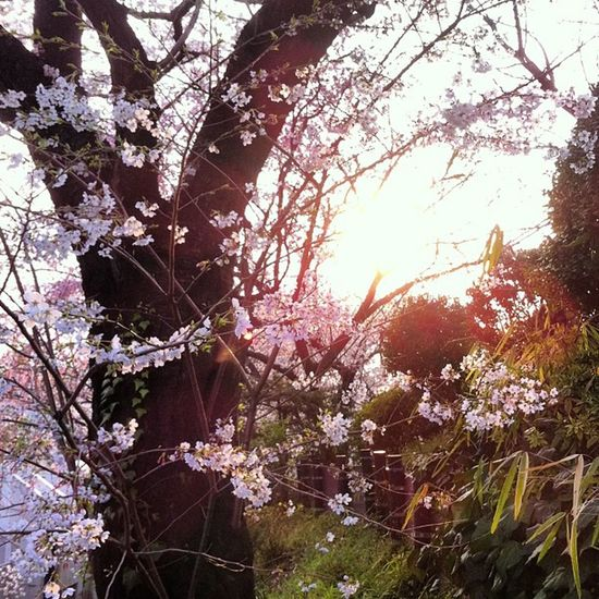 #桜 #sakura Sakura 桜
