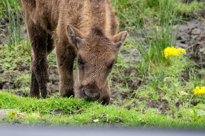 The Highland Wildlife Park on a rainy day. Bison Rain Scotland American Bison Animal Themes Animal Wildlife Animals Animals In The Wild Beauty In Nature Calf Cute Flower Grass Highland Wildlife Park Nature No People One Animal Outdoors Scottish Highlands Wildlife