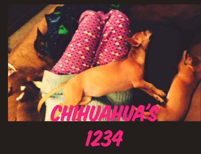 Chihuahuas Chihuahualovers Chihuahuasarespecial My Babies ❤  Snuggles Nap Time Vet Tomorrow Adult Chihuahuas Victoria's Secret Pajamas Hearts♡hearts Warm