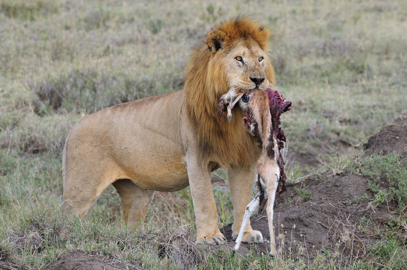 Lion with its prey on grassland