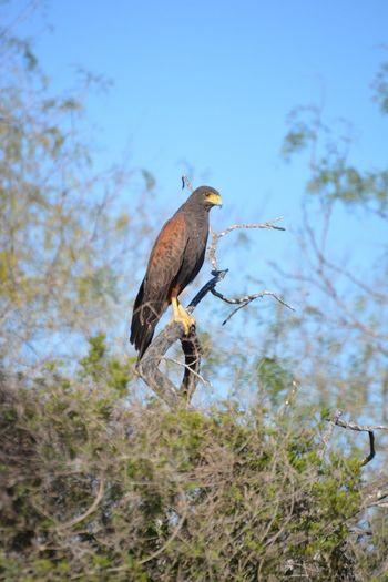 Hawk Wildlife &