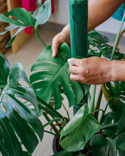 Wiping the dust from houseplant leaves, taking care of plant monstera. home gardening.