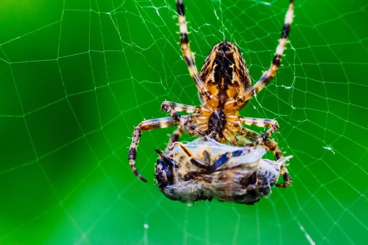 Animal Behavior Animal Head  Animal Themes Animals In The Wild Close-up Day Extreme Close-up Focus On Foreground Green Green Color Insect Natural Pattern Nature No People One Animal Prey Spider Spider Close Up Spider Macro Spider Web Spinne Spinnenmakro Wildlife Zoology