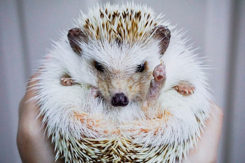 Close-Up Of Person Holding Young Hedgehog