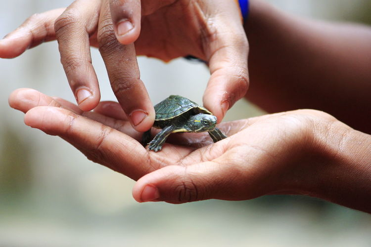 Cropped Hands Holding Young Turtle