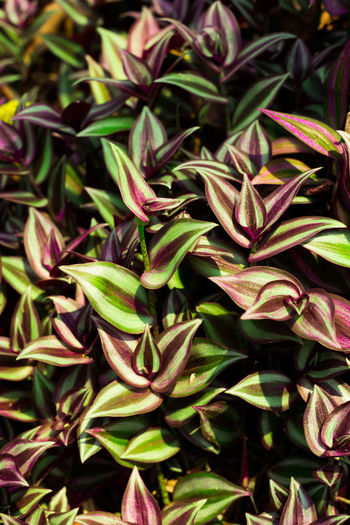 Tradescantia zebrina (Schinz) D. R. Hunt Commelinaceae Tradescantia Zebrina Loudon Backgrounds Beauty In Nature Close-up Day Freshness Full Frame Green Color Growth Leaf Nature No People Outdoors Plant