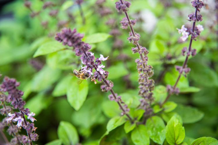 Plant Growth Flower Flowering Plant Beauty In Nature Vulnerability  Fragility Freshness Nature Close-up Selective Focus Day No People Plant Part Leaf Green Color Purple Petal Focus On Foreground Outdoors Flower Head Pollination Basil Basilicum Herbs Ingredient Tasty Bee Bees And Flowers