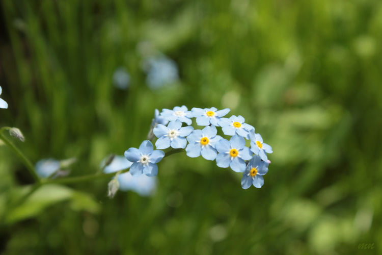 Beauty In Nature Blooming Blossom Blue Botany Close-up Flower Flower Head Focus On Foreground Forget-me-not Fragility Freshness Growth In Bloom Selective Focus