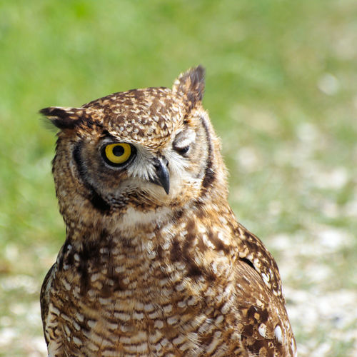 Keep an eye on you Blink Of An Eye Animal Wildlife Animals In The Wild Bird Of Prey Close-up Looking At Camera Nature One Eye Open Outdoors Owl Portrait Yellow Eye