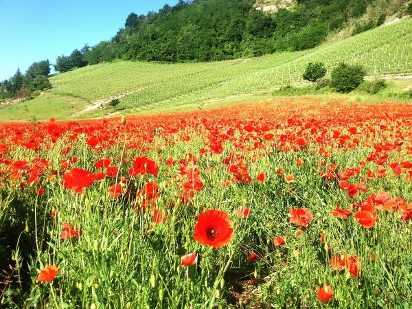 Papaveri Poppies  Poppies Field Coquelicots Roero Langhe