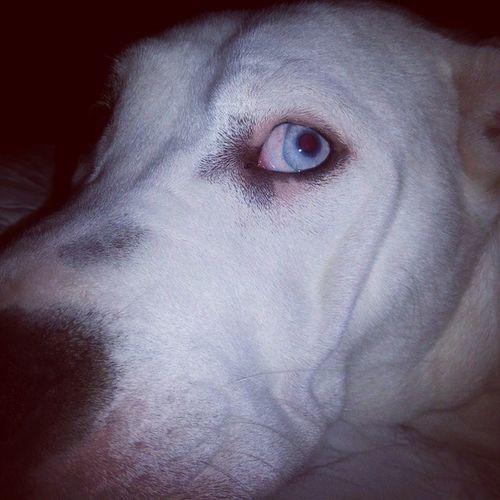 Americanbulldogs Ambull Bullies Bulldogs Dogsoftwitter Dogsofinstagram Babyblue Iseeyou