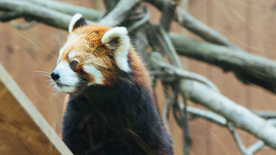 Animal Themes Animal Wildlife Animals In The Wild Day Lesser Panda Mammal One Animal Panda Red Panda