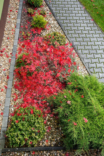 High angle view of red flowering plants in park