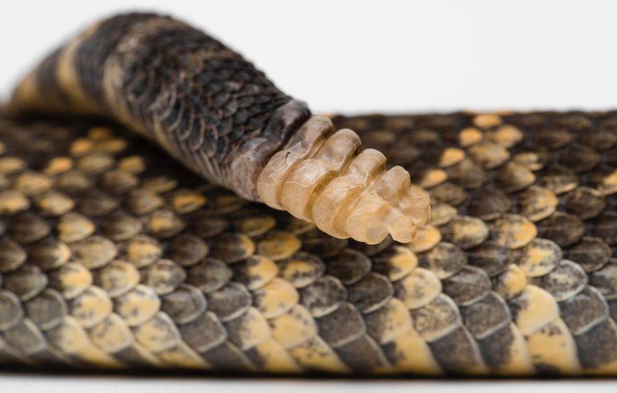 Venomous Snake Rattler Rattlesnakes Rattlesnake Close-up Reptile No People Indoors  Snake One Animal Selective Focus Pattern Animal Animal Themes Still Life Animal Wildlife Studio Shot Animal Scale Natural Pattern Textured  Animal Body Part