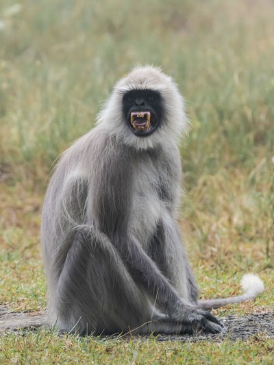 Alpha Male Southern Plains Gray Langur (Semnopithecus dussumieri) Animal Wildlife Animals In The Wild Primate Mammal Sitting One Animal Vertebrate Grass Nature Field Day No People Full Length Land Focus On Foreground Plant Outdoors Mouth Open Langur