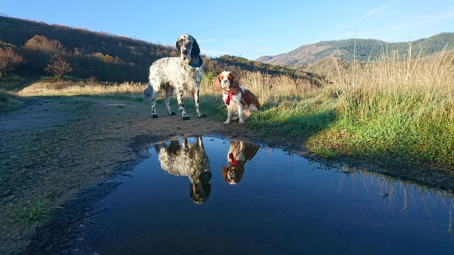 Two dogs mirrowed in a puddle