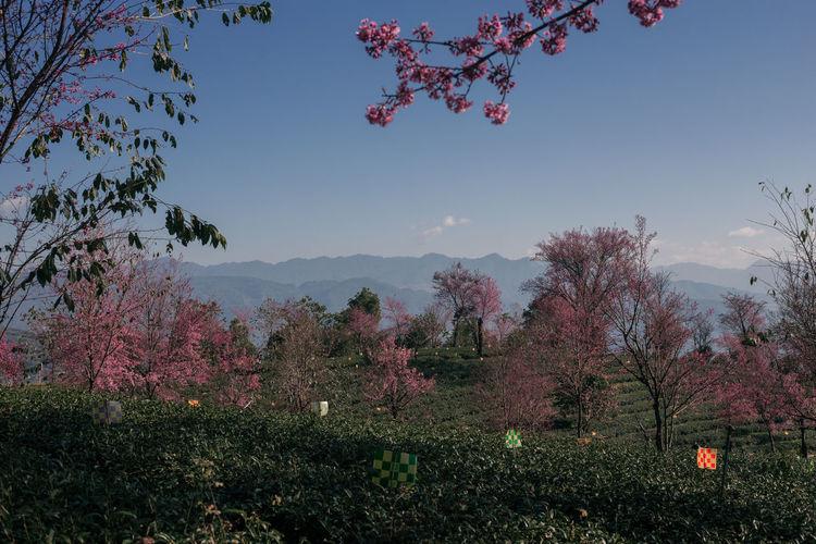 Pink flowering trees on field against sky