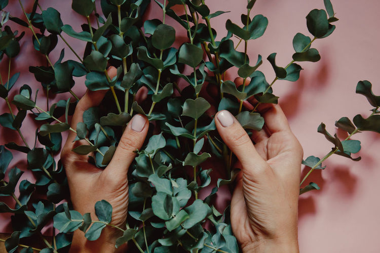 woman hands holding green Silver dollar Eucalyptus cinerea branches on pink composition Body Part Eucalyptus Finger Green Color Growth Hand Holding Human Body Part Human Finger Human Hand Human Limb Leaf Leaves Leisure Activity Lifestyles Nature One Person Personal Perspective Plant Plant Part Real People Unrecognizable Person
