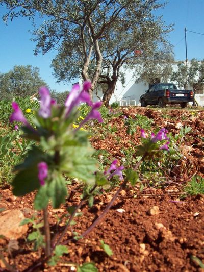 Olive Trees Syria House Rural Olive Tree Olive Tree Field Flower Growth Nature Plant Selective Focus Fragility Purple Tree No People Beauty In Nature