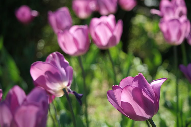 Tulip Tulips Flower Flowering Plant Purple Pink Color Freshness Beauty In Nature Nature Close-up Flower Head Day Outdoors Springtime