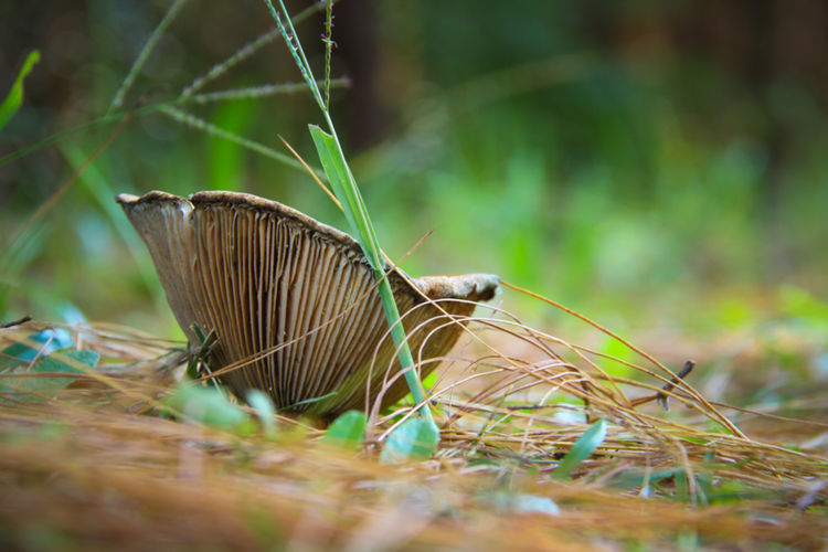 Beautiful fungi growing on the forest bed Forest Nature Fungus Fungi Pine Tree Blade Of Grass Beauty In Nature Field Green Color No People Mushroom Selective Focus Haenertsburg South Africa Plant Growth Grass Close-up Outdoors Leaf Plant Part Surface Level Day