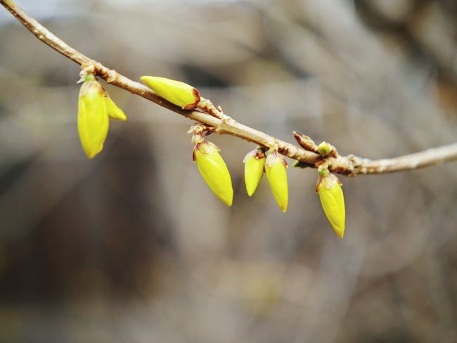 Forsythia buds! Check This Out Yellow Yellow Flower Forsythia Flower Flowerporn Buds Buds On Branches Showcase March Spring Springtime Springtime Blossoms Blossom Bokeh Photography Bokeh Shallow Depth Of Field Lumix Lumixlounge Panasonic Lumix GX8