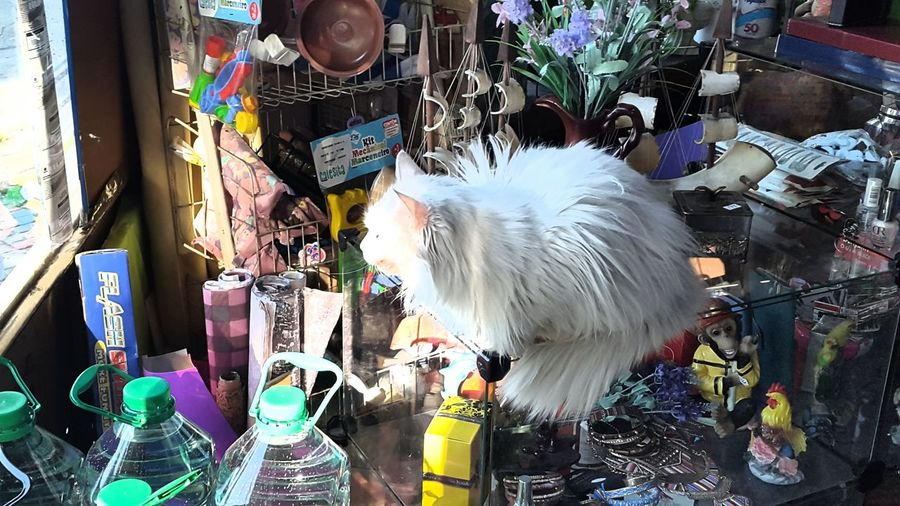 Pets Animal Themes Domestic Animals Cat Angoracat Day No People Outdoors