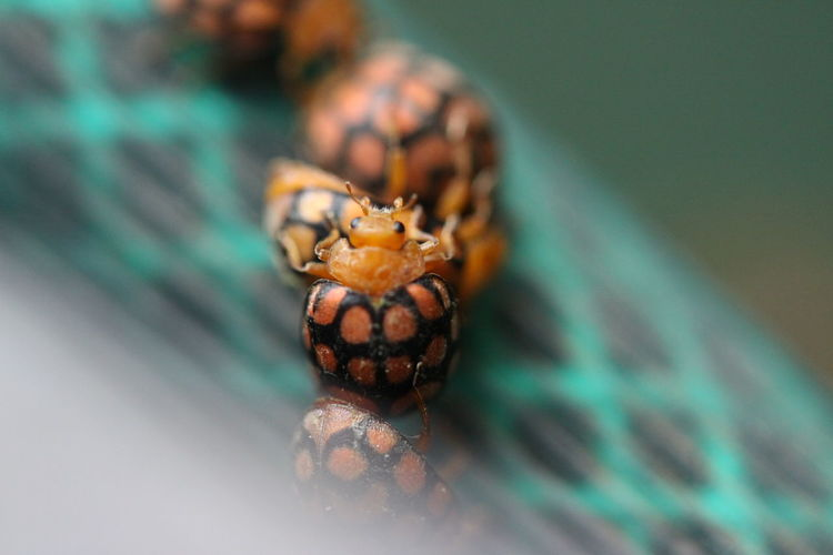 One Animal Animal Wildlife Close-up Animals In The Wild No People Selective Focus Nature Outdoors Reptile Invertebrate Day Insect Colored Background Focus On Foreground Sea Macro Small Animal Eye Turquoise Colored Marine
