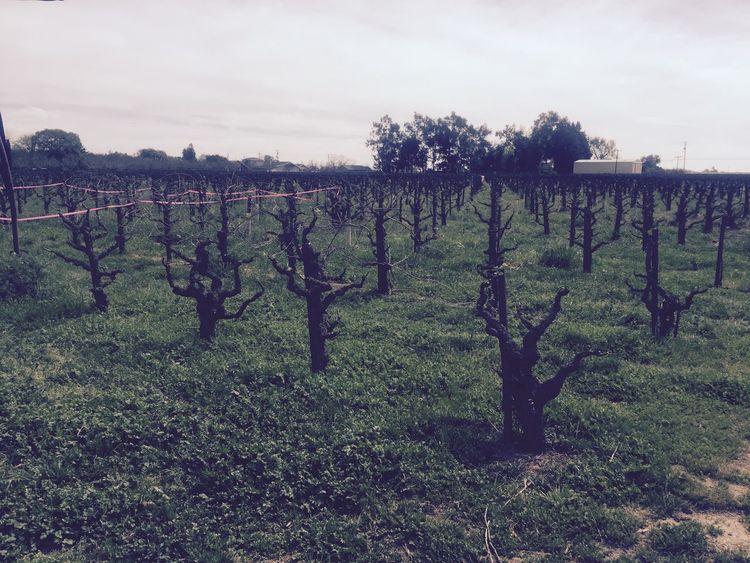 Wine Wine Tasting Red Wine Zinfandel Vineyard Vines Lodi