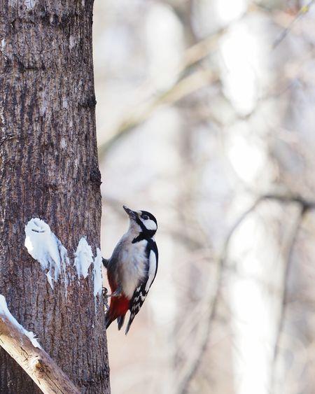 woodpecker EyeEm Selects Bird Animal Wildlife Vertebrate Animal Animal Themes Animals In The Wild Tree No People Tree Trunk Nature Plant Woodpecker